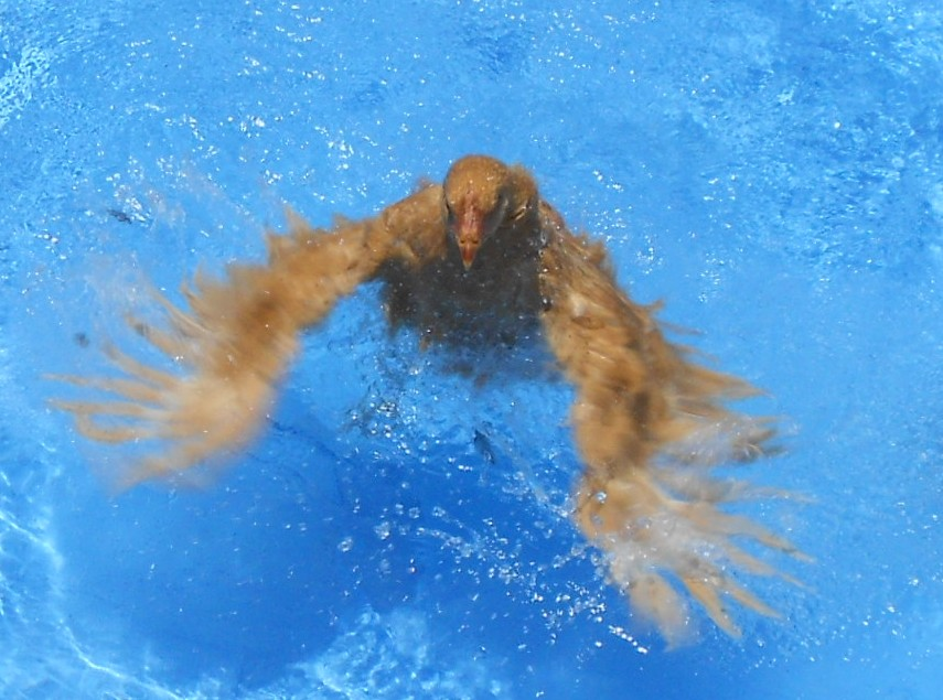 Can chickens swim chickendiary for Swimming chicken